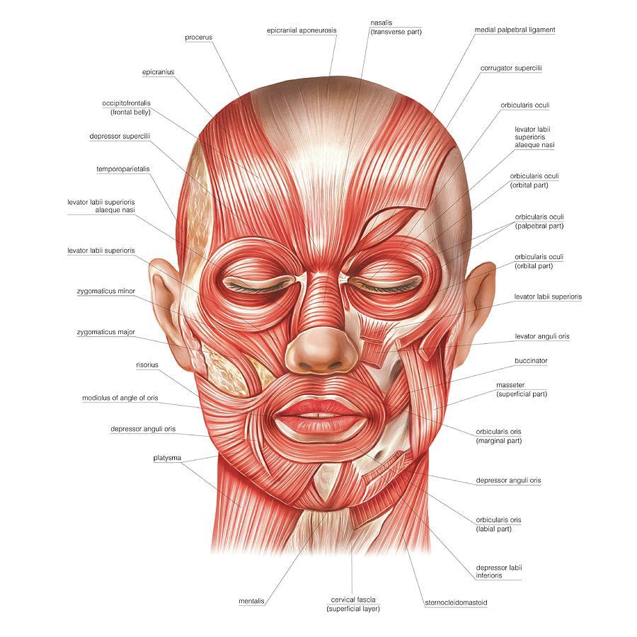 мускули на лицето